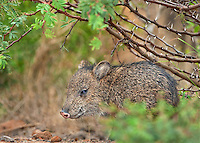 650520193 a baby javelina or collared peccary dicolytes tajacu on beto gutierrez ranch hidalgo county texas united states
