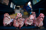 pig heads in the back of a truck