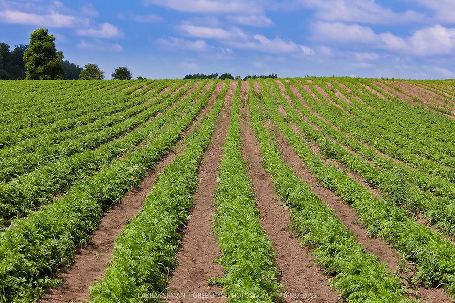 farm field of rows of carrot plants converging in the distance and ...