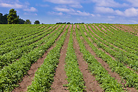 A farm field of rows of carrot plants converging in the distance and up a hillside, under a blue sky.