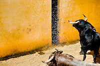 A fighting bull sprayed with water in the corral behind the bullfighting arena before Corida de Toros, Torremolinos, Spain, 28 July 2006.