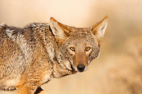 Coyote (Canis latrans), Tucson, Arizona, USA