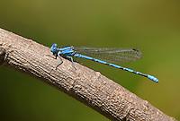 338630004 a wild male springwater dancer damselfly argia plana perches on a small stick in lockhart city park lockhart texas