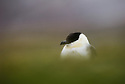 Long-tailed Jaeger (Stercorarius longicaudus) on Svalbard