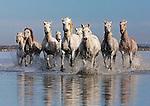 Camargue horse herd, Ile de la Camargue, France