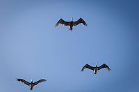 With wings spread, Brown pelicans fly over Pigeon Point Light Station State Historic Park on the California coast.
