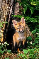 Red fox pup (Vulpes vulpes)