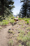 A dog (golden retriever) with backpacks on the Pacific Crest Trail, Sierra Nevada, Eldorado National Forest, California