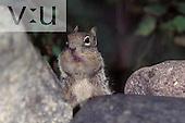 Rock squirrel (Citellus variegatus)