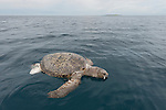 Massive dead green turtle floating on the water surface. Very possible bycatch thrown out from a trawler boat.