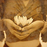 A woman's hands holding a white lotus blossom.<br />