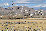 Snow geese fly over sandhill cranes and other birds at the Bosque del Apache National Wildlife Refuge, near Socorro, New Mexico.