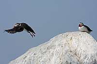 Puffin Leaving Rock