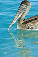 Brown Pelican Cane Garden Bay, Tortola, British Virgin Islands
