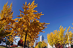 Ginkgo trees line Martin Luther King Blvd looking toward downtown in Charlotte, NC