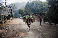 A farmer and donkey loaded with bananas walk along a dirt road to a banana collection point in the mountains around Xinjie, Yunnan Province, China.