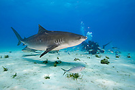 Tiger Shark, Galeocerdo cuvier, and scuba divers, West End, Grand Bahama, Atlantic Ocean