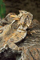 437850013 a wild texas horned lizard phrynosoma cornatum a threatened species sits on a dead mesquite branch in the rio grande valley of south texas