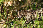 A jaguar creeps along the edge of the jungle on  the Cuiaba River in the Pantanal of Brazil.