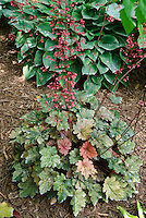 Heuchera French Quarter making a round plant shape with deep pink flowers and mottled foliage that changes colors, with hosta