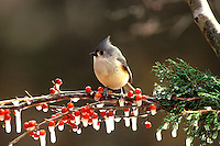 The delicate appearing Tufted titmous, Parus bicolor, perched on a branch of icy holly berries in winter