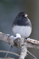 Dark-eyed Junco perched on a pine branch