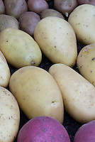 White Potatoes Annabelle with purple potatoes