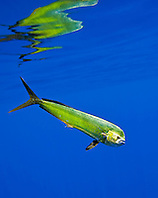 mahi-mahi, dorado, or common dolphin-fish, Coryphaena hippurus, adult cow, Kona Coast, Big Island, Hawaii, USA, Pacific Ocean
