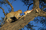 Leopard, Panthera pardus, male, captive, with springbok kill, Namibia