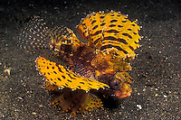 Shortfin Lionfish, Dendrochirus brachypterus, are a common species, but normally they're a reddish brown color. The yellow phase, as seen here, is quite rare. Lembeh Strait, N. Sulawesi, Indonesia, Pacific Ocean