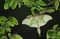 Luna Moth (Actias luna), adult at night perched on Cedar Elm (Ulmus crassifolia), New Braunfels, Texas, USA