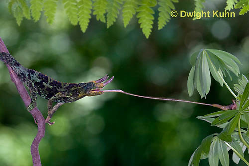 CH34-542z  Male Jackson's Chameleon or Three-horned Chameleon tongue flicking to catch insect prey, Chamaeleo jacksonii