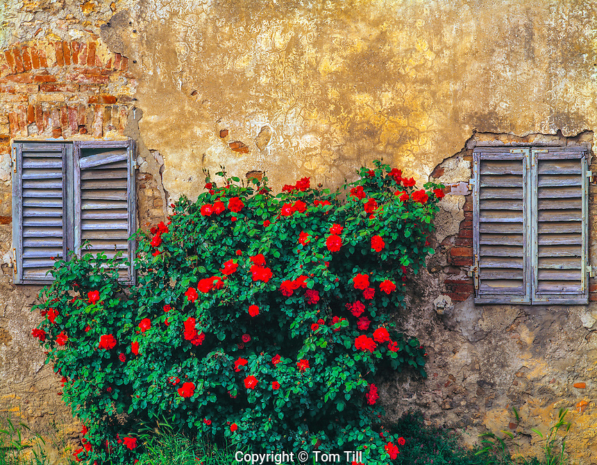 "Wall detail and roses in San Gimignano  San Gimignanp, Italy  Tuscany region  Built beginning in 13th century  ""City of Beautiful Towers"""