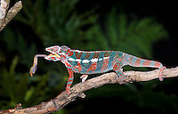 Panther Chameleon (Furcifer pardalis) catching food, Ambilobe, Madagascar, captive.