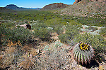 Barrel Cactus blooms in a desert wash in Organ Pipe National Monument.