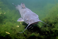 Channel Catfish, underwater