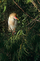 524938008 a wild cattle egret in breeding plumage bubulcus ibis perches in a large tree in a rookery in ding darling national wildlife refuge sanibel island florida united states