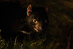 Wild female Tasmanian Devil photographed late at night at Kingsrun, Geoff King's &quot;devil restaurant&quot; on his land near Arthur River, north west Tasmania. The devils are lured using a staked-out roadkill wallaby, under spotlights beside an old fishing hut on the beach. Tasmania's northwest is the only area not yet affected by Devil Facial Tumour Disease, which has caused a population crash elsewhere on the island.  ..The disease is a contagious cancer that scientists are only beginning to understand, but has spread rapidly through the population, leaving the devil listed as endangered. In December 2009, it was announced that the disease may be related a peripheral nerve cell, called the Schwann cell, which has led some hopes for preserving the devil, at least in terms of quarantine insurance populations.