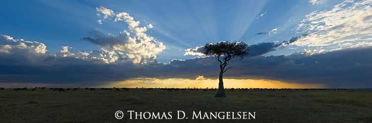 As the last light leaves the plains and silhouettes the herds of wildebeest grazing on the golden grasses, crepuscular rays radiate from the clouds behind the leaves of a lone acacia tree in Masai Mara, Kenya.