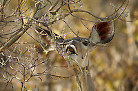 Greater kudu (tragelaphus strepsiceros) browsing.<br /> Moremi Wildlife Reserve, Botswana.<br /> September 2007.