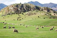 Sheep near Wanaka