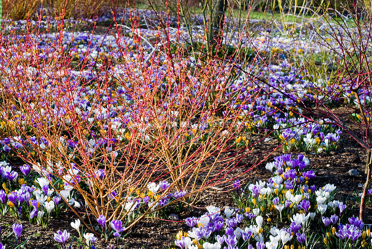 Cornus winter stems and spring flowering bulbs Dutch Crocus