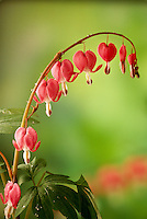 A delicate branch of bleeding heart flowers,  Dicentris spectabilis, curving with the weight of many blooms in spring