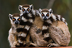 Ring-tailed lemurs, Madagascar