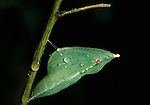 Brimstone Butterfly (Gonepteryx rhamni) pupae, chyrsalis, cocoon hanging on stem, green, water droplets, rain.United Kingdom....