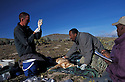 Ethiopian wolf being vaccinated againt rabies. Bale mountains. Ethiopia