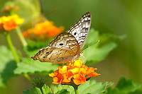 White Peacock Butterfly on Lantana