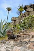 A male Boettger's Lizard (Gallotia caesaris) in habitat, La Gomera, Spain.