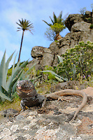 A male Boettger's Lizard (Gallotia caesaris) in habitat, La Gomera, Spain.