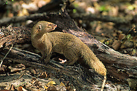 West Indian Mongoose<br /> St. John<br /> Virgin Islands